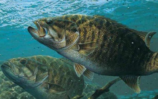 スモールマウスバスをワームで釣ろう!釣り方(アクション)、仕掛け(リグ)、カラー(色)、おすすめ【ランキング】